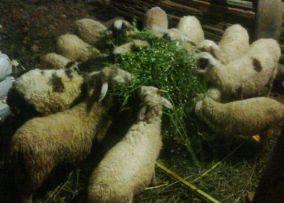domba2